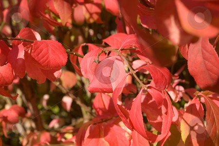 Burning Bush stock photo, Bush turning red during cold fall time by Ron Johnson