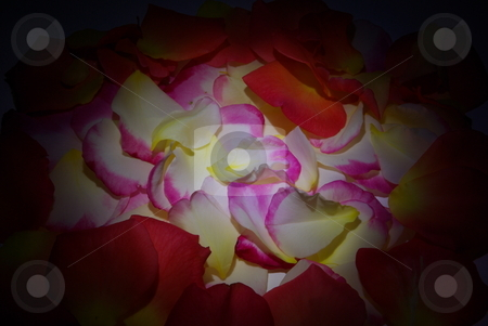 Rose Petal Background stock photo, Pink, yellow and white rose petals brightly lit in the center fading to black by Lynn Bendickson
