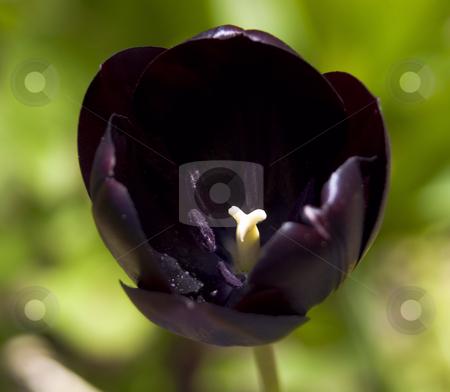Tulip Night Queen stock photo, Close up of night queen tulip by John Teeter