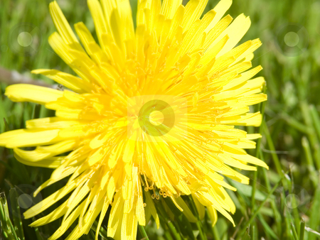 Dandilion stock photo, Dandilion laying on grass in sun by John Teeter