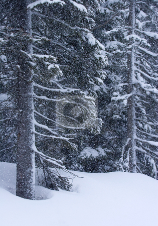 Winter Squall stock photo, A winter squall envelopes the forest in snowflakes near the summit of White PAss, Washington by Mike Dawson