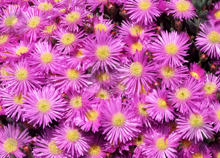 Colorful pink British mesembryanthemums (ice plant) flowers. stock photo, Colorful pink British mesembryanthemums (ice plant) flowers. by Stephen Rees