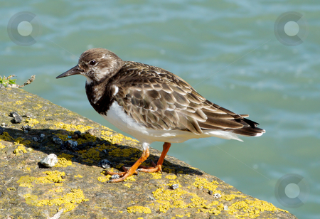 Ruddy Turnstone in Cornwall UK. stock photo, Ruddy Turnstone in Cornwall UK. by Stephen Rees