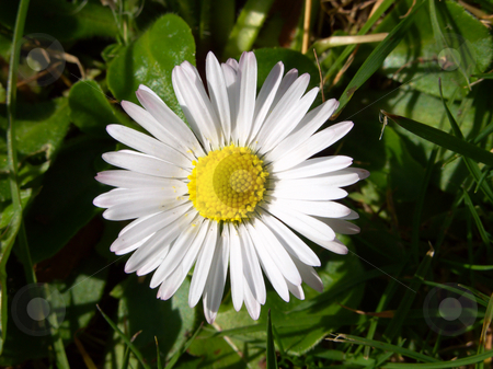 Close up of an English daisy. stock photo, Close up of an English daisy. by Stephen Rees