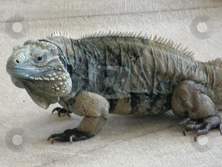 Iguana stock photo, Big Iguana by Ritu Jethani