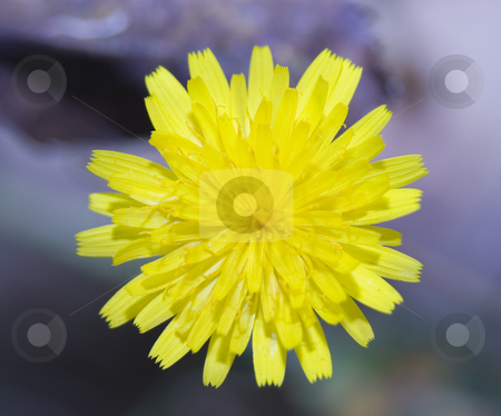 Dandelion Close up stock photo, Yellow dandelion close up by John Teeter