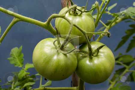 Tomatoes On The Vine stock photo, Three unripe tomatoes hanging on the vine by Richard Nelson