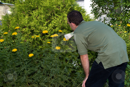 Gardener Cleaning His Flowers stock photo, A young gardener using a brush to sweep bugs of his yellow flowers by Richard Nelson