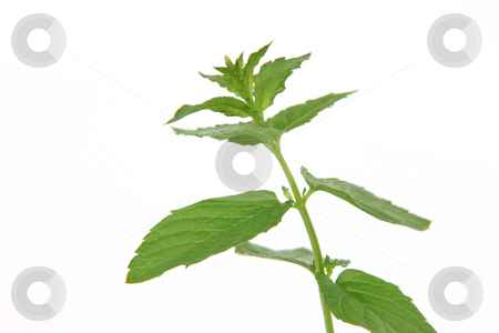 Horizontal spearmint stock photo, Horizontal spearmint plant detail isolated on white background by EVANGELOS THOMAIDIS