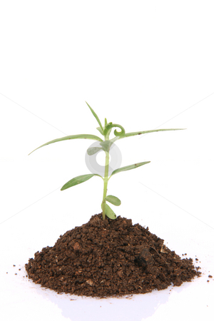 Plant closeup stock photo, Small plant with soil closeup isolated on white background with copy space by EVANGELOS THOMAIDIS