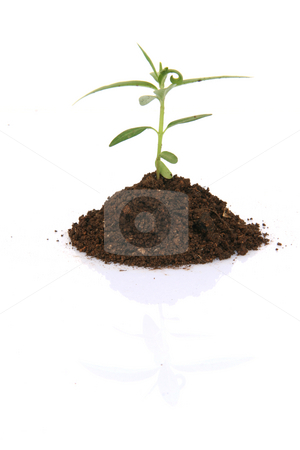 Small plant stock photo, Small plant with soil with  small  reflection isolated on white background by EVANGELOS THOMAIDIS