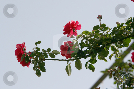 Rose plant stock photo, Roses plant and sky in spring nature and flowers concepts by EVANGELOS THOMAIDIS