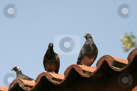 Doves on roof stock photo, Three pigeons on roof and blue sky background animals and nature by EVANGELOS THOMAIDIS