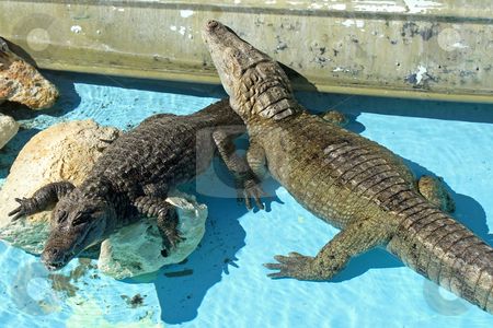 Alligators stock photo, 2 Alligators in an exhibit, water and rocks. by Lucy Clark