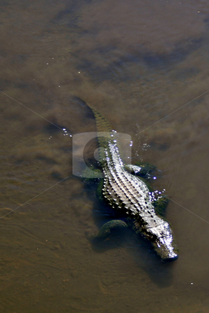 Alligator stock photo, An allligator swimming in a lake by Lucy Clark