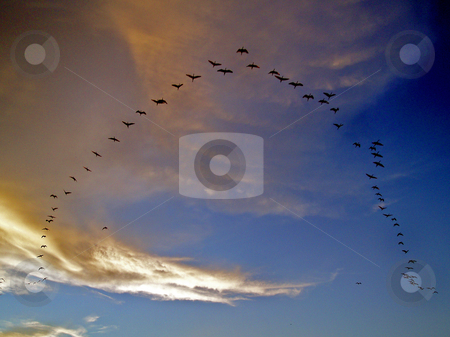 Flying Birds stock photo, Flying birds in alignment, in formation, at sunset. by Lucy Clark