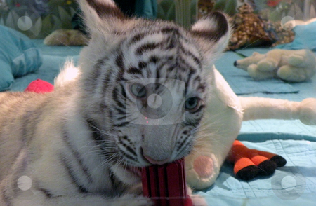 White tiger kitten stock photo, A white tiger kitten chewing on its favorite toy, in its habitat by Rob Wright