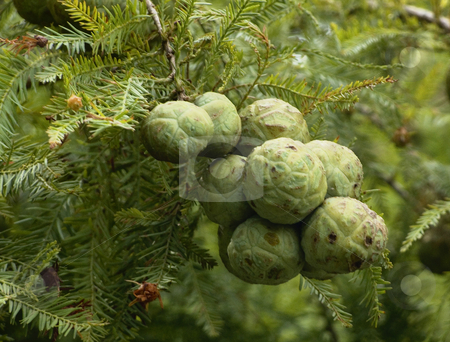Pine Seeds stock photo, Seeds pods on a Pine tree in southeast Texas by Marburg
