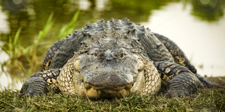 Alligator at Water's Edge stock photo, Close up front view of a large American Alligator (Alligator mississippiensis) basking in the grass on the edge of the water, with the reflection of trees in the water in the background. by A Cotton Photo