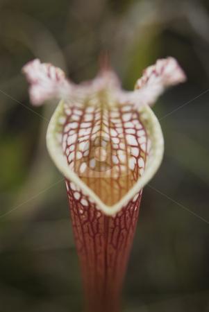 Pitcher Plant stock photo, Carnivorous Pitcher Plant (Sarracenia leucophylla) by A Cotton Photo