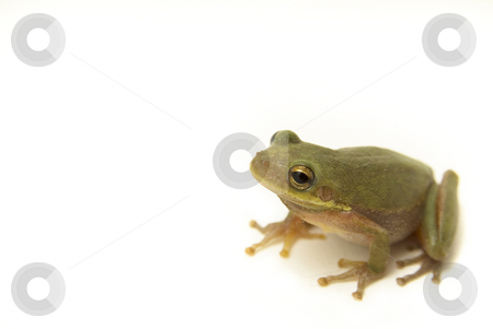 Close Up Tree Frog stock photo, Squirrel Tree Frog (Hyla squirella) Isolated on white background by A Cotton Photo