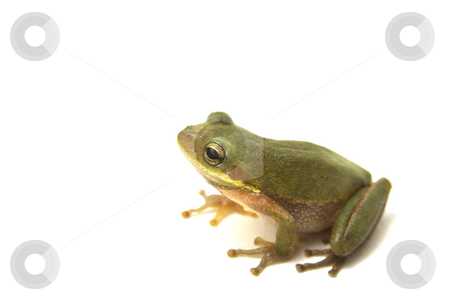 Squirrel Tree Frog stock photo, Squirrel Tree Frog (Hyla squirella) isolated on white background by A Cotton Photo
