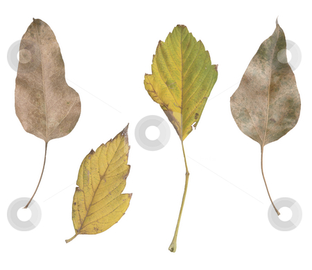 Four leaves stock photo, Four fall leaves from varius palnts isolated on white background by EVANGELOS THOMAIDIS
