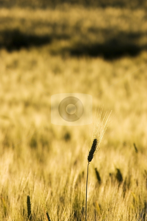 Wheat field stock photo,  by Luca Mosconi