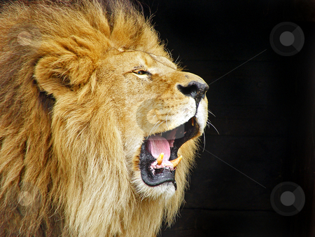 Roaring lion stock photo, Profile portrait of a male lion roaring in his shelter. Picture taken at the zoo of Dublin, Ireland by Emmanuel Keller