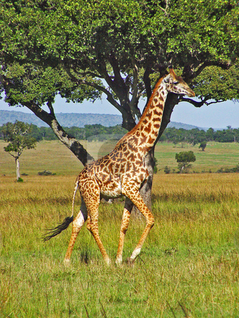 Running giraffe stock photo, A male giraffe running in the plains of the Masai Mara national park, Kenya by Emmanuel Keller