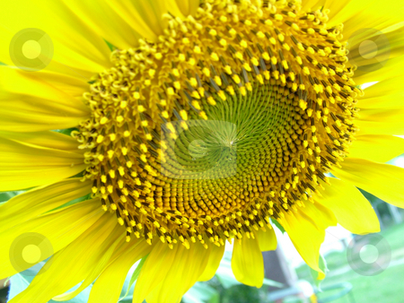 Up close sunflower photo stock photo, Bright yellow large head of a sunflower close up by Michelle Bergkamp