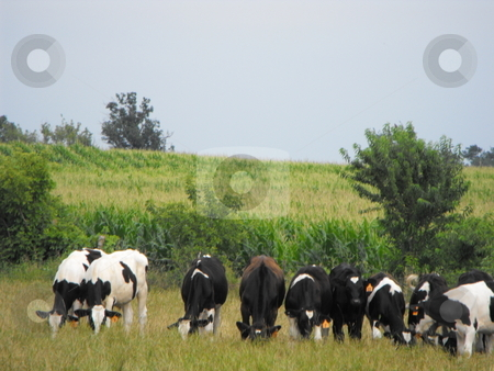 Holstein cattle grazing stock photo, A small herd of black and white Holstein cows graze together in a hillside field on a warm August day.  A corn field is in the background. by Dennis Thomsen