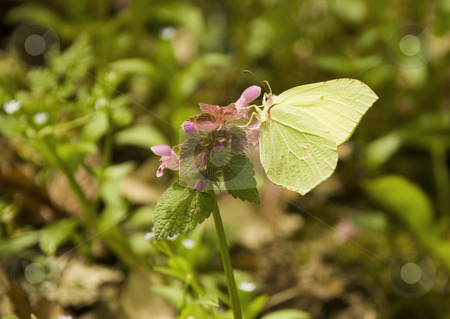 Gonepteryx rhamni  stock photo, A butterfly is drinking nectar from a flower by Ivan Paunovic