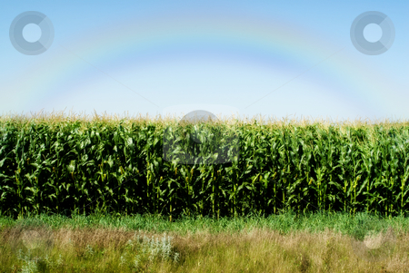 Corn Field stock photo, A lush corn field with a rainbow in the sky by Richard Nelson