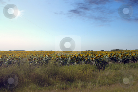 Sunflower Field stock photo, A field of sunflowers shot against the sun by Richard Nelson
