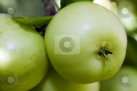 Large Crab Apples stock photo, Closeup view of some large crab apples hanging from a tree by Richard Nelson