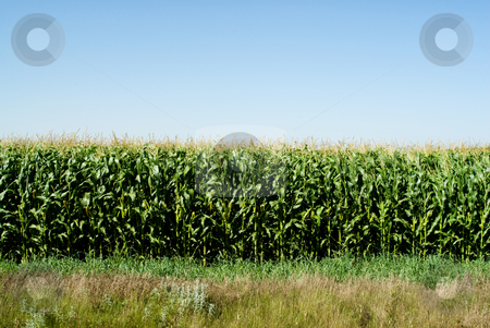 Corn Field stock photo, A rural corn field on a sunny day by Richard Nelson
