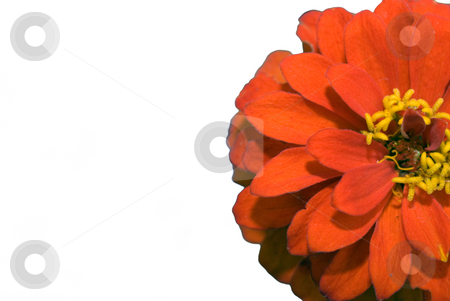 Red Flower stock photo, Closeup of a red flower with white copyspace on the left by Richard Nelson