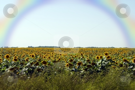 Sunflowers stock photo, A field of sunflowers with a beautiful rainbow in the sky by Richard Nelson