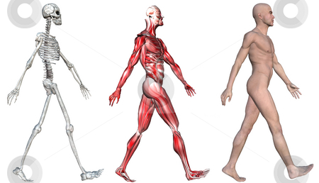 Skeleton & Muscles of a Human Male stock photo, Anatomical illustration of the skeleton and muscles of a walking human male. 3D render. by Michael Brown