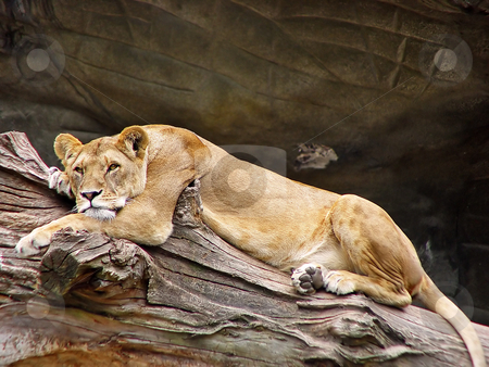 Tired lioness stock photo, A lioness lies and rests on a log in her enclosure in a German zoo by Emmanuel Keller