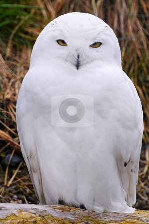 White snowy owl stock photo, A white snowy owl stands and stares to the camera. Picture taken in the zoo of Z???rich by Emmanuel Keller