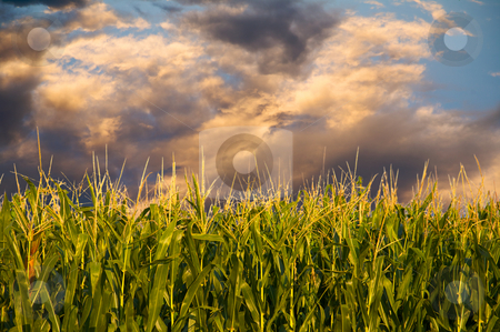 Corn and stormy clouds stock photo, Field of Corn in the early evening sun - the golden hour. by Mitch Aunger