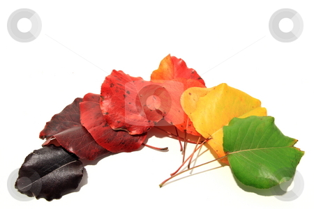 Fall Rainbow stock photo, Leaves of bradford pear indifferent stages of color by Jack Schiffer