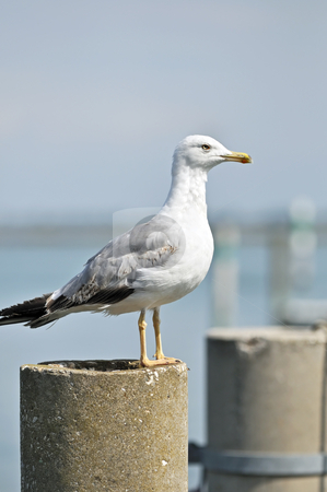 Seagull stock photo, Seagull on the top of a mooring-post in a harbour by Massimiliano Leban