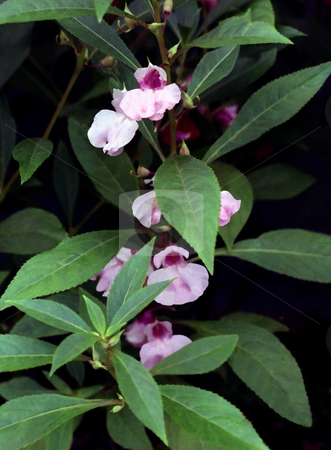 Pink Garden Balsam stock photo, A garden balsam, Impatiens balsamina, with pink flowers. by Kathy Piper