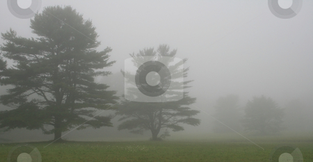 Pine Trees in Fog stock photo, Pine trees at left on a foggy Maine morning, room allowed for copy by Tom and Beth Pulsipher