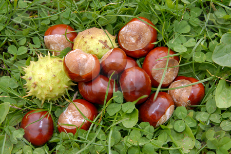 Chestnuts in grass stock photo, Some chestnuts in green grass and trefoil by Joanna Szycik