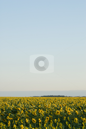 Sunflower Field stock photo, A sunflower field with copyspace in the sky above it by Richard Nelson