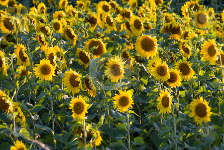 Sunflower Field stock photo, Alot of sunflowers scattered in a field by Richard Nelson